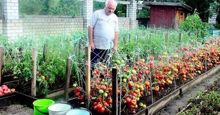 Перевірений дідівський рецепт для помідорів. Ніколи не підводив!