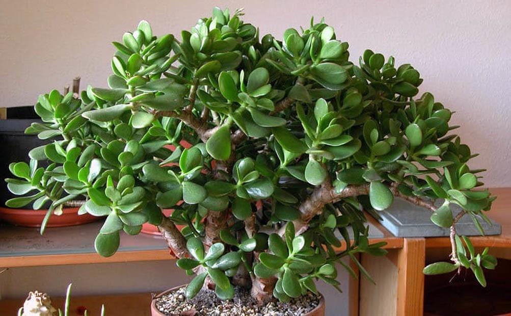 Дуже багато хто вирощує у себе «Грошове Дерево». Так ось, знайте, що ви поливаєте і вирощуєте …