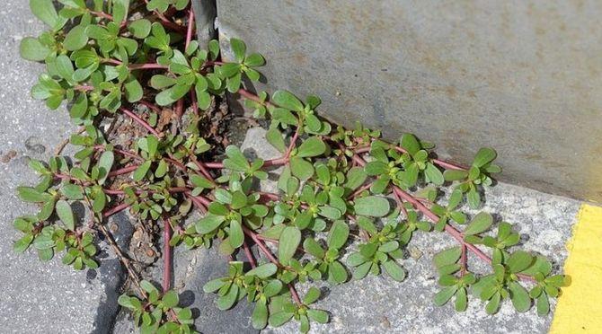 Якщо ви побачите цю рослину в вашому дворі, ні в якому разі не знищуйте її! 0сь чому