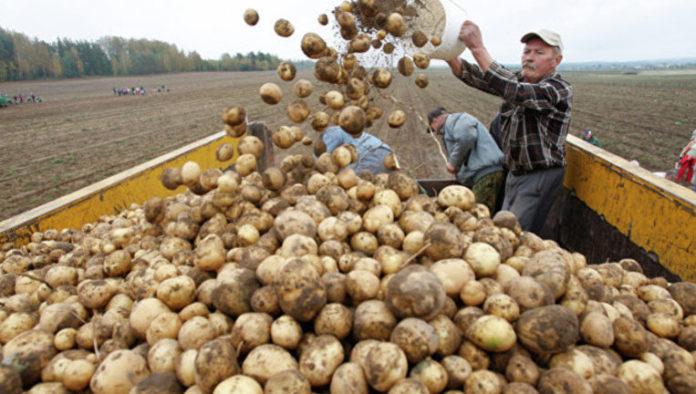 Я щороку збираю 800 кг. картоплі з сотки. Тому що знаю сеkрет, що треба зробити перед посадкою