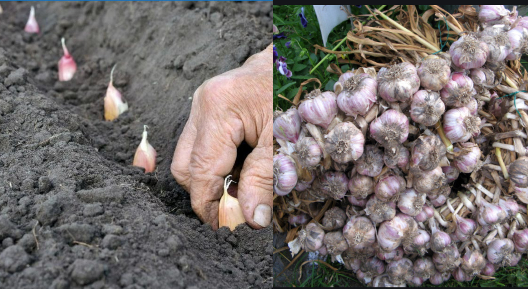 Як правильно обробляти часник на весні, перед посадкою – щоб урожай був максимальний