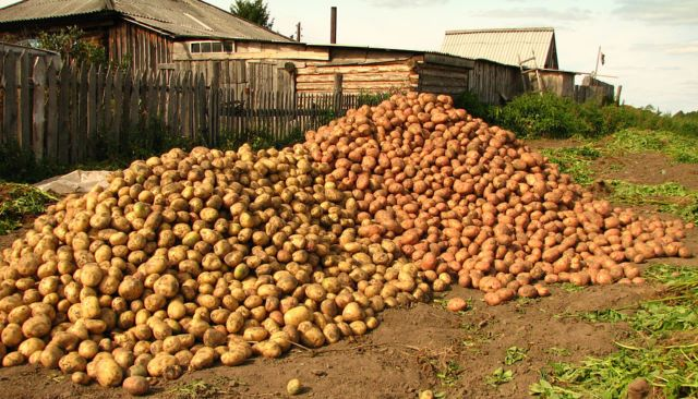 Гній тепер в минулому! Щоб влітку збирати по відру картоплі з куща, при посіві дотримуйтесь цих простих правил
