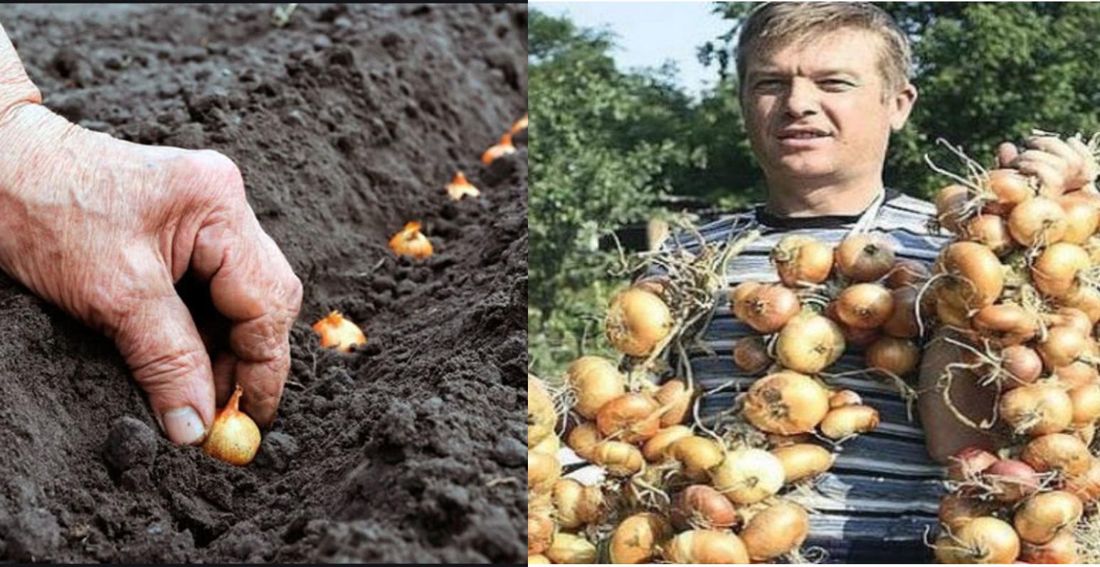 Я кожен рік отримую великий урожай цибулі: 4 простих поради перед посадкою, Аби не мучитися питанням «чому знову цибуля не вpoдила»