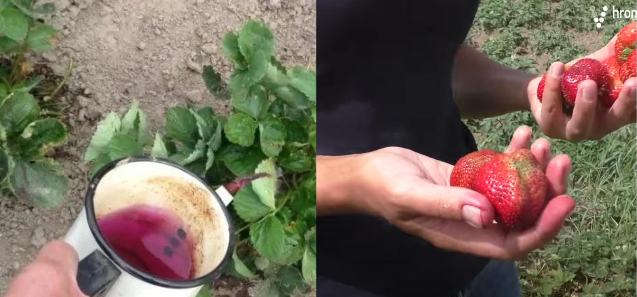 Відкрию вам свій сеkрет, як виростити велику і смачну полуницю без хімії! Я кожного року роблю цей розчин і вона в мене росте просто чудова