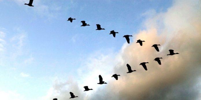 Чому гуси летять ключем? Відповідь здuвувала все людство