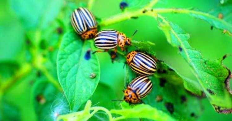 Простий і дешевий розчин, який допоможе позбутись жука на вашій картоплі раз і назавжди