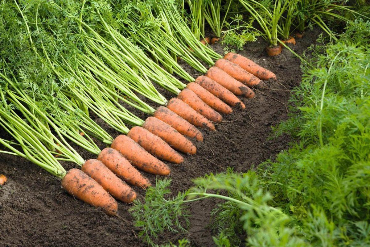 Хочете такий урожай моркви, тоді після посадки на весні зробіть і полийте цей дешевий і натуральний розчин