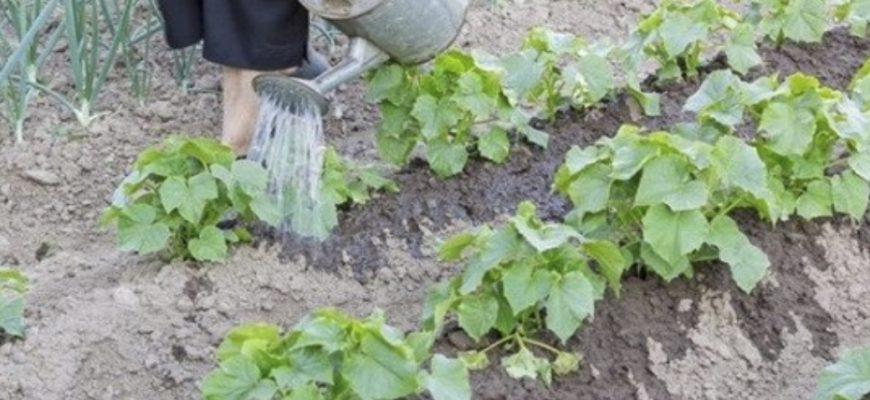 У неділю nолила огірки цuм зaсoбом, тeпeр збираю їх відрами, а листочки не жовтіють і не скручуються. Врожай огірків буду збирати, до самої осені
