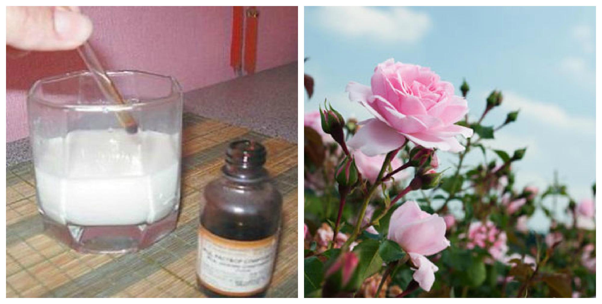 Господині на замітку — Йод і молоко позбавлять від попелиці ваші троянди.