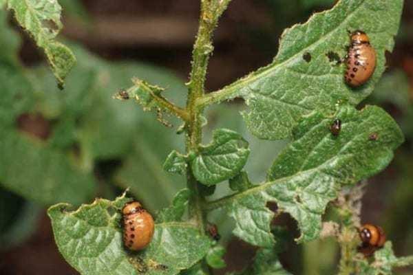 3берігайте,якраз сезон! Як позбавитися від колорадського жука дуже простим і дешевим методом