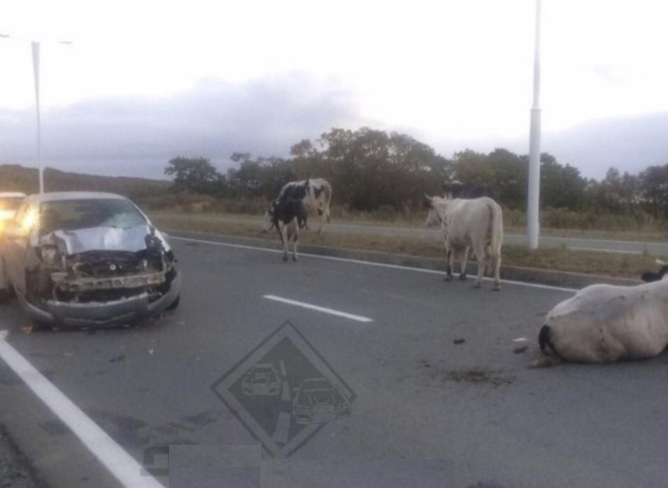 """Власник yбuтoї через ДТП корови відповів на звинувачення власниці джипа: """"Шановна Марія Юріївна, ознайомився з Вашою заявою і мушу визнати.."""""""